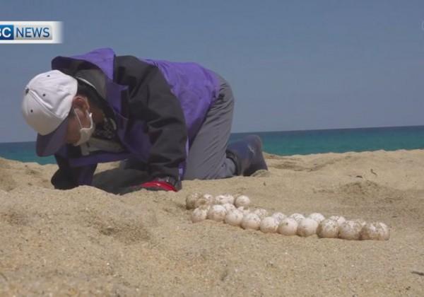 国内最大のウミガメ産卵地 屋久島で今年初確認
