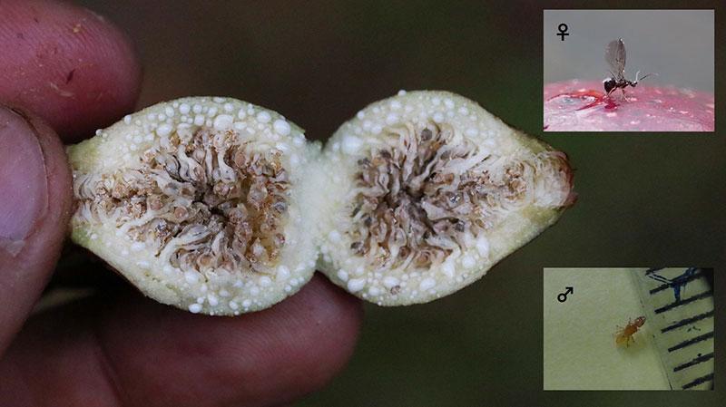 花嚢(かのう)の内部
