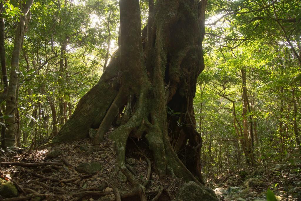 撮影:古賀 顕司「スダジイの木、鹿児島県に普通にある木です」