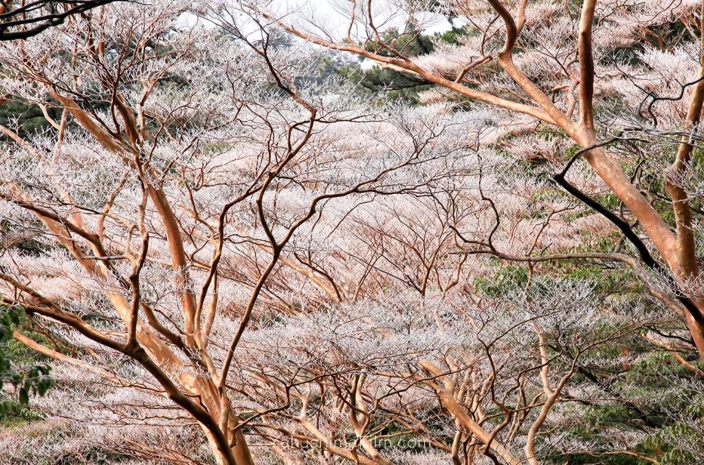 早朝、霧氷がついたヒメシャラ