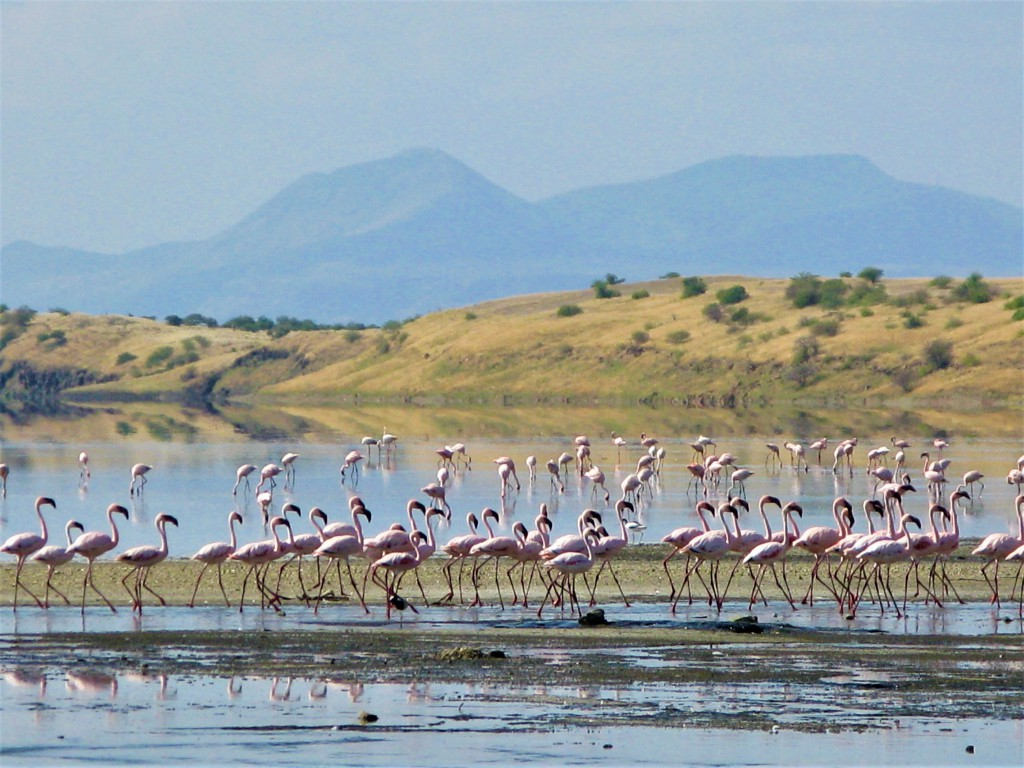 マガディ湖に生息するピンク色のフラミンゴ